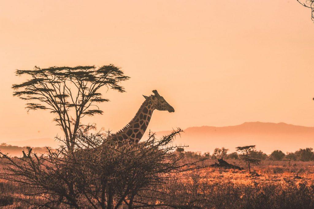 girafe-kenya